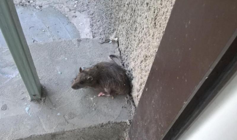 kryisa Чистые Пруды атакуют крысы (+ВИДЕО)