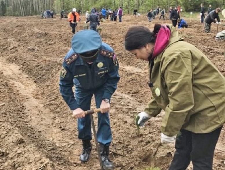 В Порошино начали восстанавливать лесополосу, пострадавшую от урагана