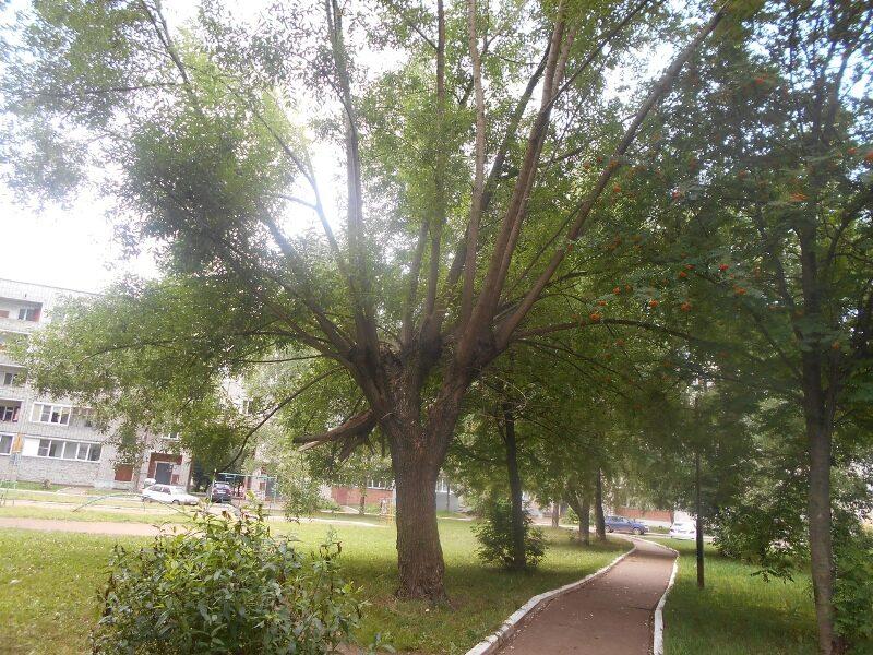 В Кирово-Чепецке рухнуло дерево (+ФОТО)