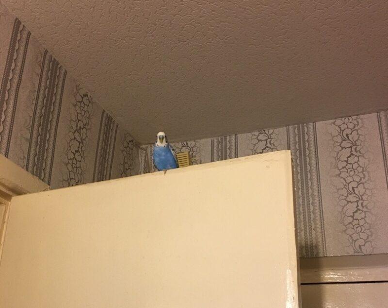 К кировчанке в квартиру залетел попугай: хозяев искали по всему городу