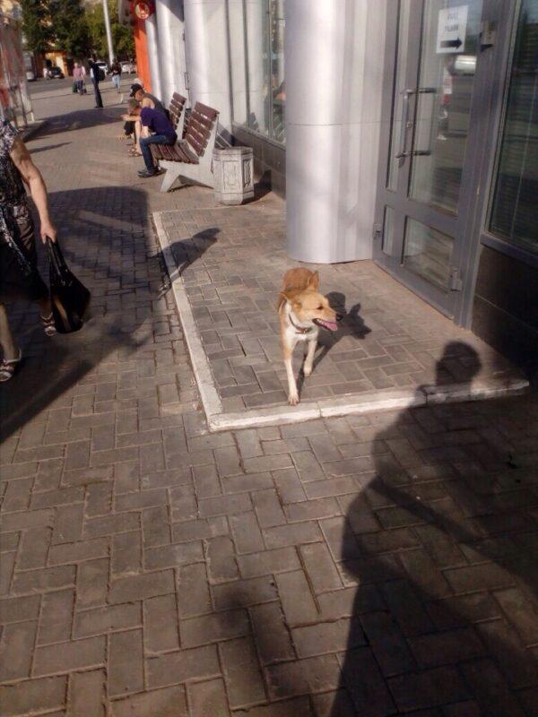 По Кирову бегает потерявшаяся собака: ее видели в разных частях города (+ФОТО)