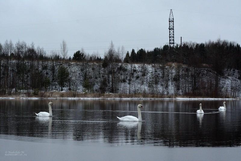 Кировчане заметили несколько стай лебедей (+ФОТО)