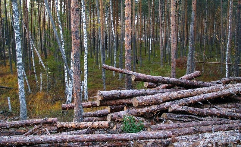 Житель Подосиновца незаконно заготавливал дрова в ближайшем лесу