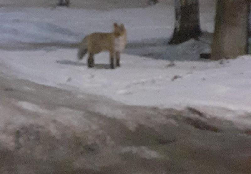 На территории Кирова замечен дикий зверь
