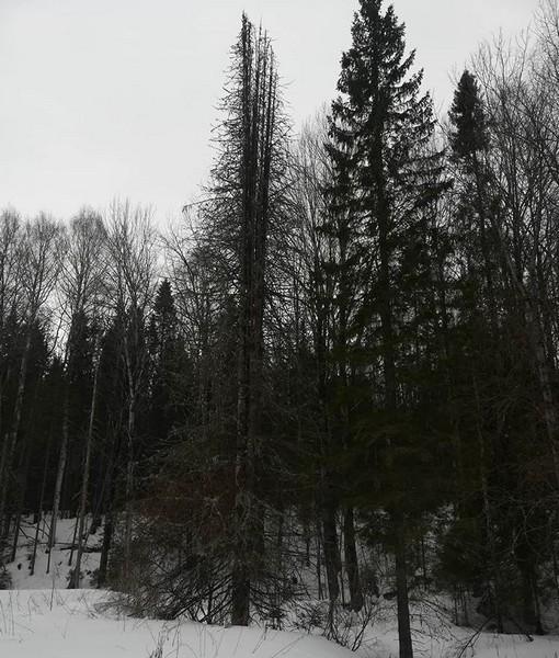 В Кировской области обнаружено дерево-мутант