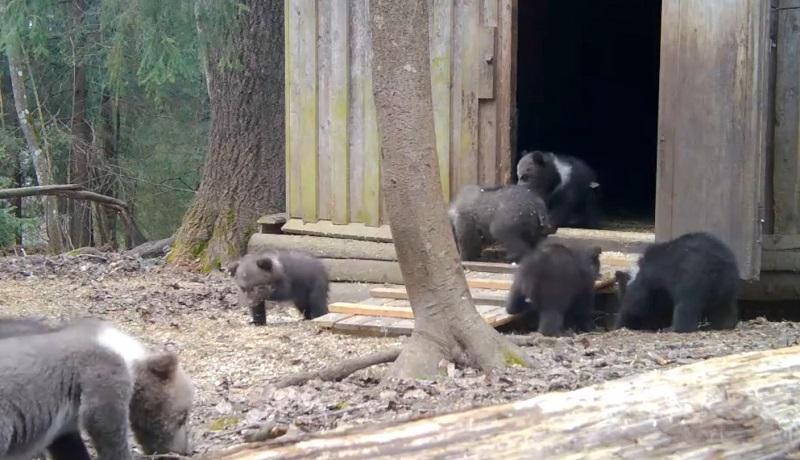Центру спасения, где приютили кировских медвежат, пожертвовали миллион рублей