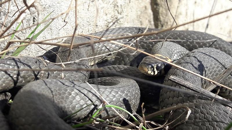 В Кировской области проснулись змеи (+ФОТО)