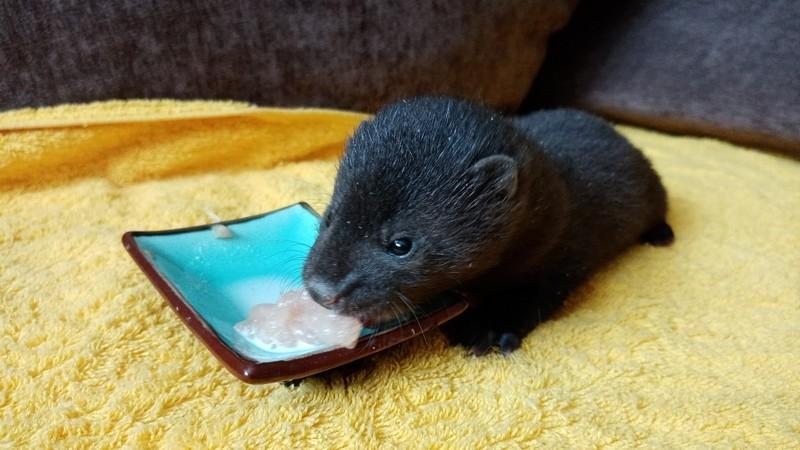 В Кировском центре помощи животным выходили крошечную норку (+ФОТО)