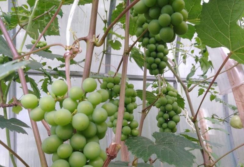 Жительница Кировской области вырастила виноградник
