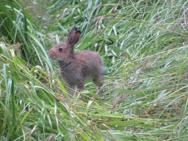 Жители Кировской области встретились с зайцем, который не боится людей