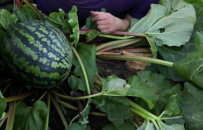 Кировчане рассказали об экзотическом урожае