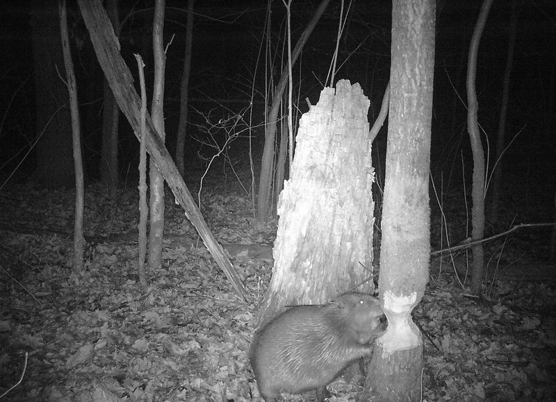 Бобер едва не повредил лесную камеру