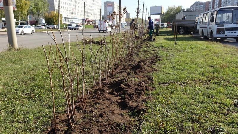 В Кирове высаживают густой кустарник вместо забора