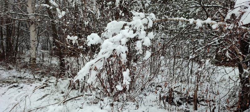 sneg v lesu На севере Кировской области выпал снег